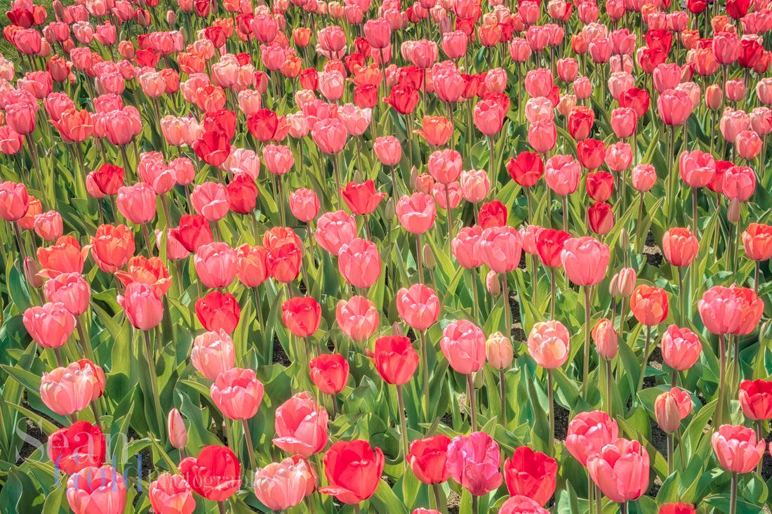 Tulips Bloom Boston Public Gardens Spring Sean Gold