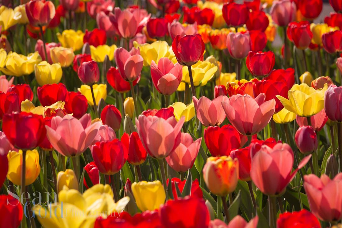 Flowers Tulips Bloom Spring Boston Sean Gold Public Gardens