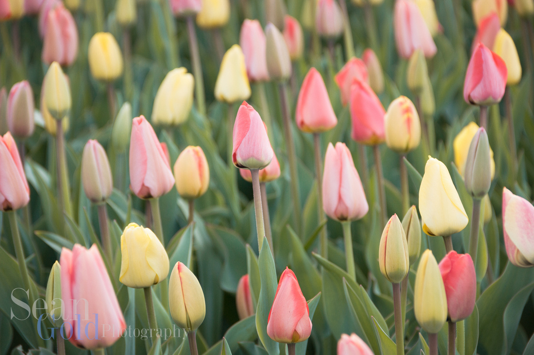 Tulips Closed Public Gardens Spring Boston Flowers Sean Gold